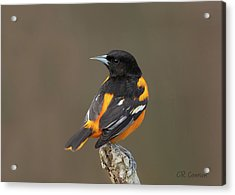 Perched Baltimore Oriole Acrylic Print