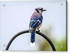 Acrylic Print featuring the photograph Perched Blue Jay by Onyonet  Photo Studios