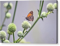 Perched Butterfly No. 255-1 Acrylic Print by Sandy Taylor