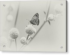 Perched Butterfly No. 255-2 Acrylic Print