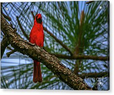 Acrylic Print featuring the photograph Perched Cardinal by Tom Claud