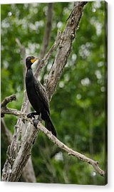 Perched Double-crested Cormorant Acrylic Print