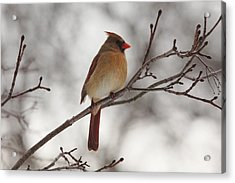 Perched Female Red Cardinal Acrylic Print by Debbie Oppermann