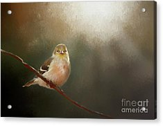 Acrylic Print featuring the photograph Perched Goldfinch by Darren Fisher