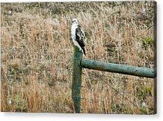 Perched Hawk Acrylic Print by Douglas Barnett