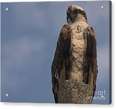 Perched Hawk Acrylic Print