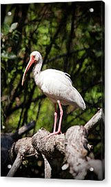 Perched Ibis Acrylic Print by Nick  Shirghio