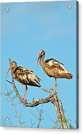 Perched White Ibises Acrylic Print by Bruce Gourley
