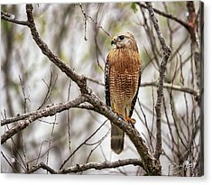 Acrylic Print featuring the photograph Perched Red Shouldered Hawk by David A Lane
