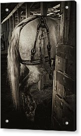 Acrylic Print featuring the photograph Percheron Draft Horse by Theresa Tahara