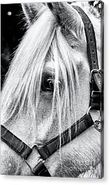 Percheron Horse Acrylic Print by Tim Gainey