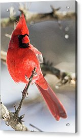 Perching Mister Cardinal Acrylic Print