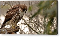 Perching Red Tail Hawk Acrylic Print by Matt MacMillan