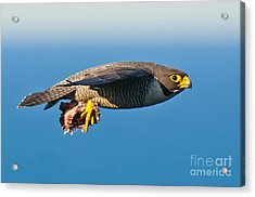 Peregrine Falcon 2 Acrylic Print