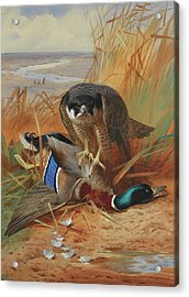 Peregrine Falcon And Mallard Duck On A Sandbank Acrylic Print