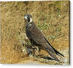 Peregrine Falcon Acrylic Print by Doug Herr