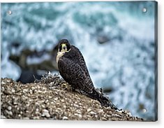 Peregrine Falcon - Here's Looking At You Acrylic Print
