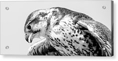 Peregrine Falcon In Black And White Acrylic Print