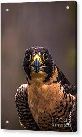 Peregrine Falcon Profile 2 Acrylic Print