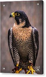 Peregrine Falcon Profile Acrylic Print