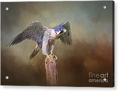 Peregrine Falcon Taking Flight Acrylic Print