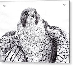 Peregrine Falcon Acrylic Print by Wade Clark