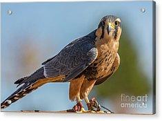 Peregrine Falcon Wildlife Art By Kaylyn Franks Acrylic Print