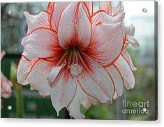 Perfect Amarylis Acrylic Print