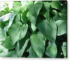 Perfect Hosta Acrylic Print
