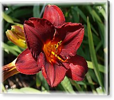 Perfect Lily Acrylic Print by Judy  Waller