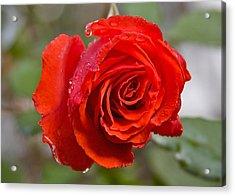 Perfect Red Rose Acrylic Print by Robert Joseph