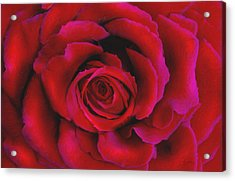Perfect Rose Acrylic Print by Joel Payne