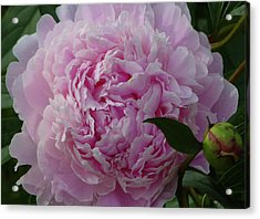 Perfection In Pink Acrylic Print