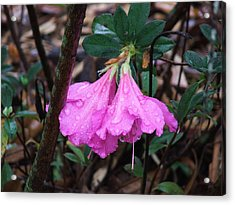 Perfectly Pink Acrylic Print by Judy  Waller