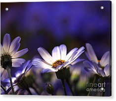 Pericallis On A Cool Spring Evening 4 Acrylic Print by Dorothy Lee