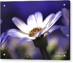 Pericallis On A Cool Spring Evening Acrylic Print by Dorothy Lee