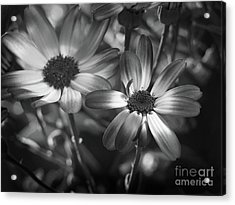Pericallis Senetti Blue Bicolor In Monochrome 2 Acrylic Print by Dorothy Lee