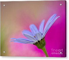Pericallis Senetti Closeup Acrylic Print by Dorothy Lee