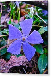 Acrylic Print featuring the photograph Periwinkle Flower by Lori Miller