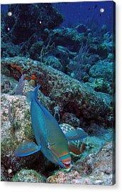 Perky Parrotfish Acrylic Print by Kimberly Mohlenhoff