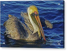 Perky Pelican II Acrylic Print