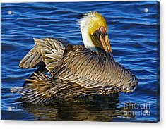 Perky Pelican Acrylic Print