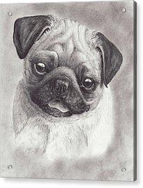 Perky Pug Acrylic Print