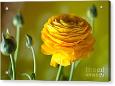 Persian Buttercup Flower Acrylic Print