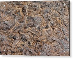 Acrylic Print featuring the photograph Peruvian Burro Curls by Britt Runyon