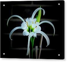 Peruvian Daffodil - 8x10 Acrylic Print by B Nelson
