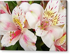 Peruvian Lilies  Flowers White And Pink Color Print Acrylic Print by James BO  Insogna