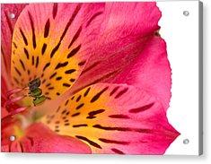 Peruvian Lily Macro Acrylic Print by Nicolas Raymond
