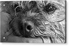 Acrylic Print featuring the photograph Pet Portrait - Puck II by Laura Wong-Rose