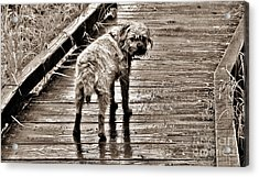 Pet Portrait - Puck Acrylic Print by Laura  Wong-Rose